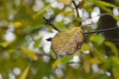 一片黄色秋天叶子的接近的uo 库存图片