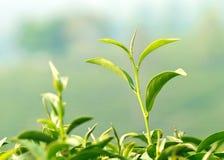 一片年轻茶叶 免版税库存图片