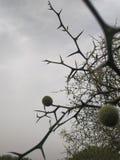 一特别植物,中国草药,许多刺 免版税库存照片