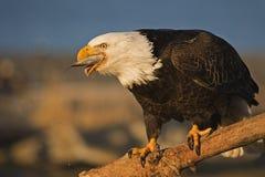 一狂放白头鹰Haliaeetus leucocephalus吃的图象fis 库存图片