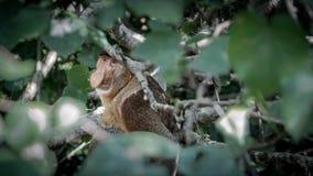 一狂放的象鼻或长的天狗猴在看照相机的婆罗洲的密林 免版税库存照片