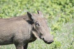 一狂放的Warthog非洲野猪属africanus的画象 免版税库存照片