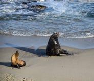 一男性和女性海狮基于海滩 库存图片