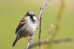 一男性麻雀鸟传球手domesticus foragin的特写镜头 库存图片