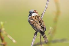 一男性麻雀鸟传球手domesticus foragin的特写镜头 免版税库存照片