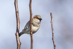 一男性麻雀鸟传球手domesticus foragin的特写镜头 图库摄影
