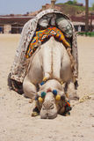 一疲乏独峰驼骆驼睡觉说谎的画象在地面上 免版税库存照片