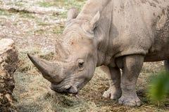 一白犀牛吃的画象 免版税库存图片