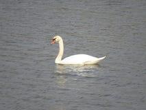 一白色天鹅游泳在河 免版税图库摄影
