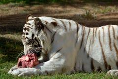 一白色老虎吃 免版税库存图片