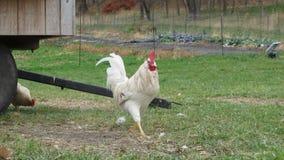 一白色雄鸡打鸣