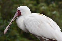 一白色非洲篦鹭的特写镜头与一只红色啄木鸟的在南非 库存照片