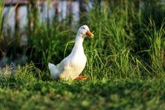 一白色鸭子来到用绿草盖的池塘的岸 库存照片