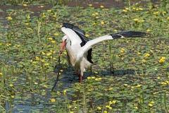 一白色鹳Ciconia ciconia捉住并且吃在自然保护kuehkopf的蛇,黑森,德国 库存图片