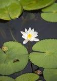 一白莲教的花在水的 斯里南卡 免版税库存照片