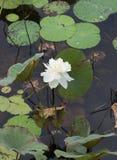 一白莲教的花在水的 免版税库存照片