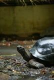 一百老草龟年 库存图片