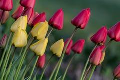 一盒五颜六色的郁金香 图库摄影