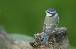 一相当蓝冠山雀Cyanistes caeruleus在树桩栖息 免版税库存图片