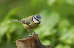一相当蓝冠山雀Cyanistes caeruleus在树桩栖息 免版税库存照片