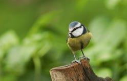 一相当蓝冠山雀Cyanistes caeruleus在树桩栖息 库存照片