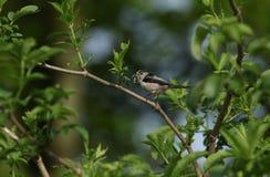 一相当长尾的山雀Aegithalos caudatus在一棵树的分支栖息与额嘴的有很多昆虫喂养它的婴孩 免版税库存照片