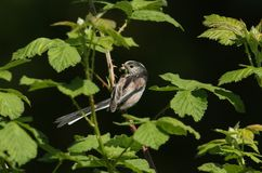 一相当长尾的山雀Aegithalos caudatus在一棵树的分支栖息与额嘴的有很多昆虫喂养它的婴孩 库存图片