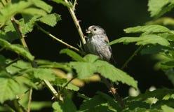 一相当长尾的山雀Aegithalos caudatus在一棵树的分支栖息与额嘴的有很多昆虫喂养它的婴孩 免版税图库摄影