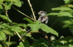 一相当长尾的山雀Aegithalos caudatus在一棵树的分支栖息与额嘴的有很多昆虫喂养它的婴孩 图库摄影