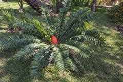 一种大红色果子Kosi苏铁科的植物在大绿色叶子中增长 图库摄影