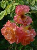 一种柔和桃子颜色的三朵发芽的花玫瑰与下落的瓣的以绿色叶子为背景 免版税库存照片