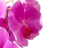 一种桃红色兰花植物的特写镜头 免版税库存图片