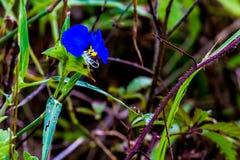 一种美丽的蓝色笔直鸭跖草 免版税库存照片