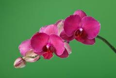 一种进展的兰花深紫红色颜色的分支在绿色背景的 免版税图库摄影