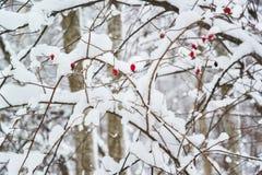 一种野玫瑰果的红色莓果在多雪的分支的 免版税库存图片