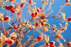 一种野玫瑰果的红色莓果在雪的冬天 免版税库存图片
