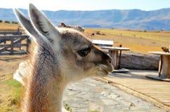 一种骆马之类的特写镜头在Estancia的 免版税库存图片