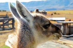 一种骆马之类的特写镜头在Estancia的 库存照片