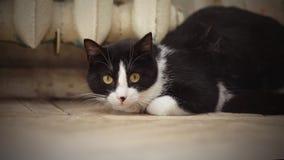 一种黑白颜色的猫 免版税库存照片