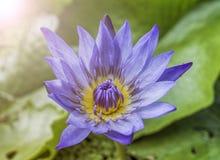 一种紫色和黄色颜色 免版税图库摄影