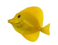 一种黄色特性的侧视图, Zebrasoma flavescens 免版税库存照片
