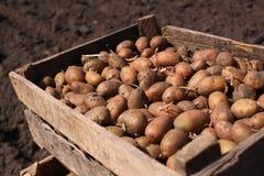 一箱土豆是为播种 免版税库存图片