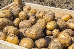 一箱土豆从地球新近地开掘了 图库摄影