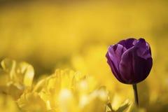 一紫色行郁金香 免版税库存照片