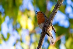 一红色知更鸟或画眉rubecula 在从事园艺的追求期间,这只鸟是一个普通伴侣 免版税库存图片