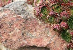 一绿色红色多汁houseleek Sempervivum tectorum的玫瑰在一块红灰色花岗岩石头增长,是一个石墙的零件 库存图片