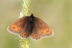 一罕见的山卷发蝴蝶Erebia epiphron在湖区的山的一棵植物栖息 库存照片