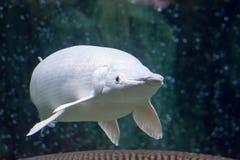 一罕见的白金雪白鳄鱼雀鳝Atractosteus小铲wh 免版税库存图片