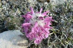 一羊毛制lousewort Pedicularis lanata的特写镜头在加拿大北极寒带草原的 库存照片