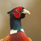 一美丽的野鸡雉属colchicus的顶头射击 免版税库存照片